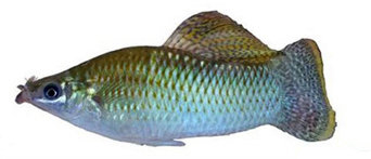 Mexican molly fish
